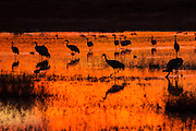 Sandhill Cranes silhouetted by the sunset forage before dark at their nightly resting area in a marsh at the Bosque del Apache National Wildlife Refuge in San Antonio, New Mexico. Thousands of Sandhill Cranes spend the winter in the refuge.