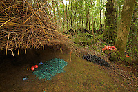 Bower of a Vogelkopf Bowerbird (Amblyornis inornatus) decorated with a pile of blue colored rotting wood, a blue mushroom, blue berries, orange fruits, and piles of black fungi and orange pandanus flowers.