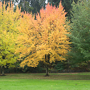 The changing colors of leaves in fall are apparent with one tree that hasn't changed, one that is starting to turn yellow, and one that is yellow and red.