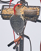 Red-bellied Woodpecker (Melanerpes carolinus). Image taken with a Leica SL2 camera and 90-280 mm lens.