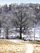 Giant Sugar Maple in Snow