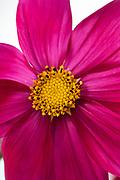 Cosmos bipinnatus 'Dazzler' - garden cosmos