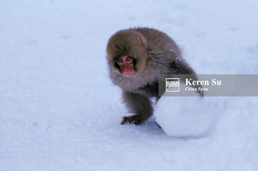 Baby Japanese Snow Monkey rolling snowball Japan