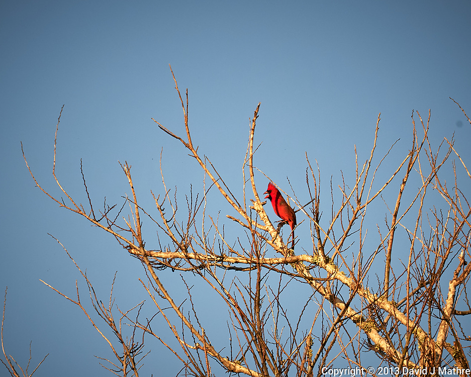 Northern Cardinal. Early morning at Biolab Road in Merritt Island National Wildlife Refuge. Image taken with a Nikon D700 camera and 18-300mm VR lens (ISO 200, 300 mm, f/11, 1/500 sec).