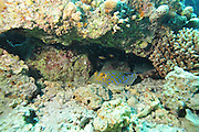 Israel, Eilat, Red Sea, - Underwater photograph of a Coral reef fish a Stingray