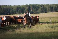 Photo Randy Vanderveen.Near Debolt, Alberta, July 22/08.An Alberta cowboy works cattle on horseback on a South Peace grazing lease.