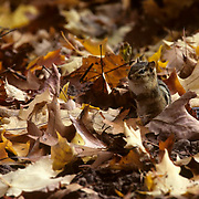 Chipmunk, (Tamias striatus) foraging for food under fallen leaves on forest floor. Fall.