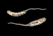 Drone Fly - Eristalis sp larva