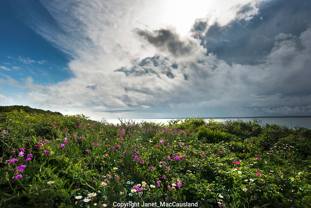 Daisies and sweet peas blossom along the New England south coast as storm clouds roll in.