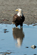 An adult bald eagle stands in a tidal pool along the beach at Anchor Point, Alaska.
