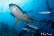 divers observe a silvertip shark, Carcharhinus albimarginatus, at the Big Fish Encounter by Beqa Adventure Divers, at Shark Reef Marine Reserve, Beqa Passage, Viti Levu, Fiji ( South Pacific Ocean ) MR 327