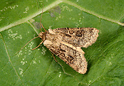 Close-up of a Heart and club moth (Agrotis clavis) resting on a leaf in a Norfolk garden in summer