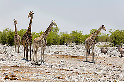 Giraffe and Oryx at Etosha National Park, Namibia, Africa