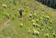 In mid to late May, hike amid fields of Lupinus luteolus yellow flowers on Ninemile Ridge Trail, Blue Mountains, Umatilla National Forest, Pendleton, Oregon, USA. Lupinus luteolus (Pale Yellow or Butter Lupine) is native to the coastal mountain ranges of Oregon and California.
