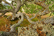 Branching Blue Oak and Rock in Springtime, Pinnacles National Park, California