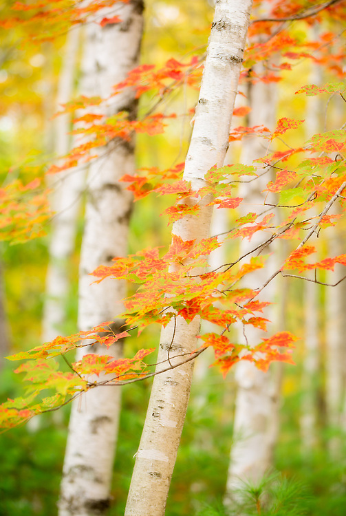 A wider aperture of f2.8 for shallow depth of field was used to create this softer more ethereal rendition of red maple branches and white birch.  Acadia NP, Maine