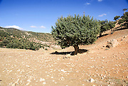 Juniperus oxycedrus (Prickly Juniper, Prickly Cedar, Cade Juniper and Sharp Cedar) Photographed in the Atlas Mountains, Morocco