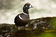 Harlequin Duck on the Sol Duc River, Olympic National Park.