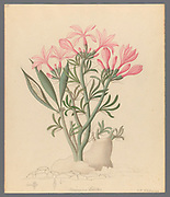 Ceropegia or Echites [Pachypodium succulentum] from a collection of ' Drawings of plants collected at Cape Town ' by Clemenz Heinrich, Wehdemann, 1762-1835 Collected and drawn in the Cape Colony, South Africa