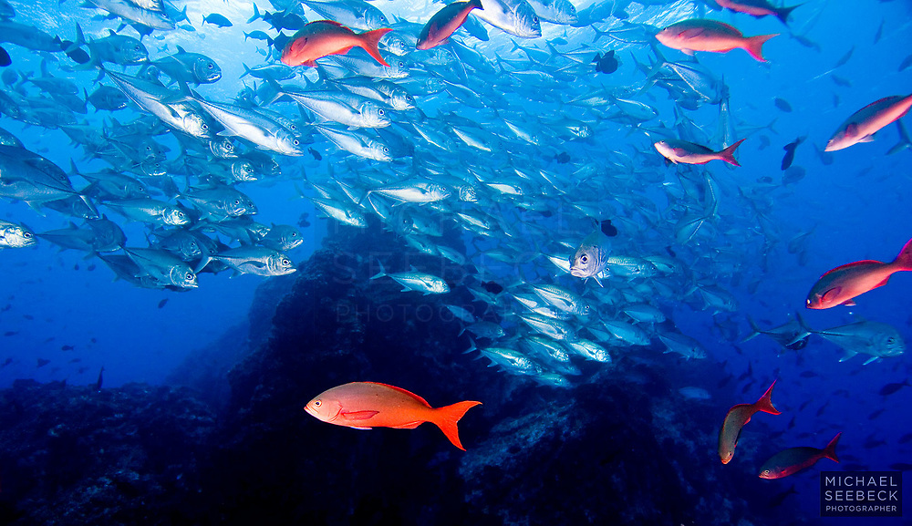 Bigeye Trevally (Caranx sexfasciatus) schooling near 'Dirty Rock', a small pinnacle near Cocos Island in the Eastern Pacific Ocean off Costa Rica.<br /> <br /> Open Edition Print / Stock Image