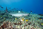 tiger shark, Galeocerdo cuvier, with fish hook in corner of mouth swims across coral reef populated with butterflyfish, surgeonfish, triggerfish and other tropical fish, Honokohau, Kona, Big Island, Hawaii, USA ( Central Pacific Ocean )