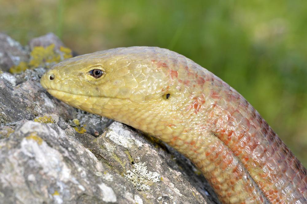 European Glass-lizard - Pseudopus apodus