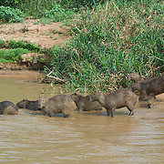 Capybara (Hydrochaeris hydrochaeris) Largest rodent in the world. Family group going into river. Pantanal. Brazil.