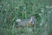 European souslik {Spermophilus citellus} in grass, Balti region, central Moldova