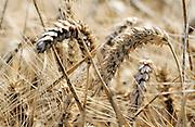 Nederland, Ubbergen, 15-8-2015Een veld met tarwe, graan wordt door een combine geoogst. Tarweveld,graanveld.Close-up, Detail,stengel,stengels,graanstengelsFoto: Flip Franssen/Hollandse Hoogte