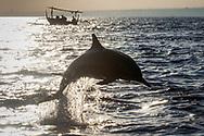 Dolphin in Bali Indonesia