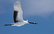Red Crowned Crane, Grus japonensis, flying, in flight, against blue sky background, Hokkaido Island, japanese, Asian, cranes, tancho, crested, white, black,  wilderness, wild, untamed, photography, ornithology, snow, graceful, majestic, .