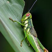 Family Acrididae<br /> Cambodia