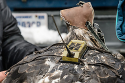 """Steve Lewis, Raptor Management Coordinator, U.S. Fish & Wildlife Service (left), prepares to attach a solar-powered GPS satellite transmitter (also known as a PTT - platform transmitter terminal) to the back of a bald eagle (Haliaeetus leucocephalus) using a lightweight harness. The eagle, captured in the Alaska Chilkat Bald Eagle Preserve will be tracked by Rachel Wheat, a graduate student at the University of California Santa Cruz. Wheat is conducting a bald eagle migration study of eagles that visit the Chilkat River for her doctoral dissertation. She hopes to learn how closely eagles track salmon availability across time and space. The latest tracking location data of this bald eagle known as """"2Z"""" can be found here: http://www.ecologyalaska.com/eagle-tracker/2z/ . During late fall, bald eagles congregate along the Chilkat River to feed on salmon. This gathering of bald eagles in the Alaska Chilkat Bald Eagle Preserve is believed to be one of the largest gatherings of bald eagles in the world."""