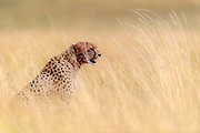 Male cheetah (Acinonyx jubatus) in the long savanna grass of Maasai Mara, Kenya.