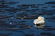 Whooper swan, Cygnus cygnus, asleep on icy water, Odaito, Hokkaido Island, Japan, japanese, Asian, wilderness, wild, untamed, ornithology, snow, graceful, majestic, aquatic, .