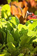Organic greens growing at Bell Organic Gardens in Draper, Utah.