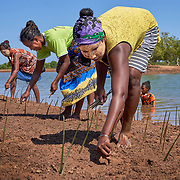 People working with WWF plant mangroves in the western coastal region of Madagascar. A mangrove, a shrub or small tree that grows in coastal saline or brackish water, are key to a healthy marine ecology, providing shelter to crabs and shrimps, and reducing soil erosion. Birds, sea turtles, and dugongs, an endangered marine sea mammal, all use mangroves. The land-sea barrier is also an extremely efficient way to retain CO2, thus contributing to climate protection, says WWF. <br /> <br /> Yet, rising sea levels, human activities, and cyclones, have harmed these valuable ecosystems, leading to decline everywhere in Madagascar. <br /> <br /> The community of Ambakivao works daily, with the support of WWF, for the sustainable management of nearly 3,000 hectares of mangrove forests. WWF teaches fishermen, who hunt for crabs living in the mangrove, to maintain or increase their food production without destroying the delicate habitat. <br /> <br /> <br /> Madagascar is the world's forth largest island off the coast of east Africa.