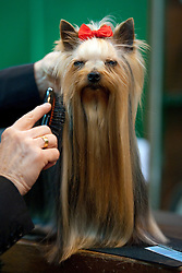 © London News Pictures. 08/03/2012. Raif the Yorkshire Terrier being prepared for show on Day one of Crufts at the Birmingham NEC Arena on March 8, 2012 in Birmingham.  Crufts, which is the largest annual dog show in the world, hosts over 20,000 dogs and owners who compete in a variety of categories. Photo credit : Ben Cawthra/LNP