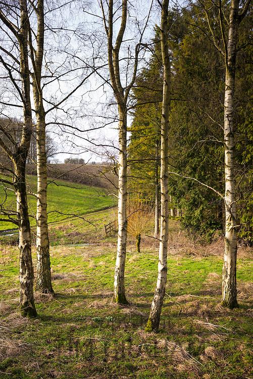 Copse of Silver Birch trees, Betula pendula, in wintertime in Swinbrook in The Cotswolds, UK