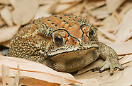 Black-spined Toad, Duttaphrynus melanostictus