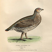 Female spruce grouse or Canada grouse (Falcipennis canadensis syn Tetrao canadensis) color plate of North American birds from Fauna boreali-americana; or, The zoology of the northern parts of British America, containing descriptions of the objects of natural history collected on the late northern land expeditions under command of Capt. Sir John Franklin by Richardson, John, Sir, 1787-1865 Published 1829