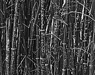 Photo Art Print of Bamboo in Black and White available as a Download, Framed, Canvas, Fine Art and Photo Print. This is an image that would make a perfect peace of abstract natural art. Bamboo is often associated with Zen gardens of the far East and can be used for almost anything.