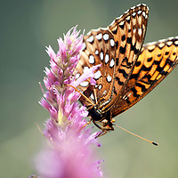 A monarch butterfly sucks nectar of a flower atop Mount Taylor Tuesday afternoon near Grants.