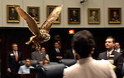 TALLAHASSEE, FL. 4/13/05-CH 1 OWL15-Ivan an Eurasian Eagle Owl from Lowry Park Zoo flies through the Senate chamber as part of the ceremonies recognizing Hillsborough County Day and Lowry Park Zoo days, Thursday at the Capitol in Tallahassee. ..COLIN HACKLEY PHOTO FOR METRO SECTION