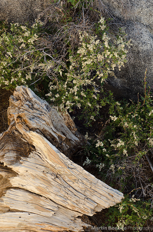 Wildflowers and stump, Sierra Nevada, Eldorado National Forest, California