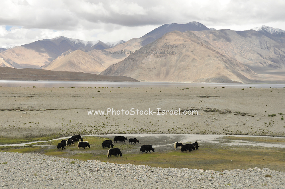 A herd of yaks graze in the landscape India, Jammu and Kashmir, Ladakh,
