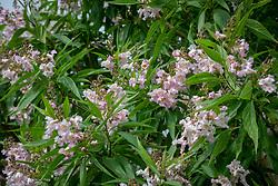 × Chitalpa tashkentensis Summer Bells = 'Minsum'