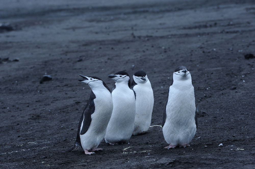 Chinstrap Penguins (Pygoscelis antarctica)) stand on black volcanic sand in their nesting colony. Saunders Island, South Sandwich Islands. South Atlantic Ocean. 25Feb1