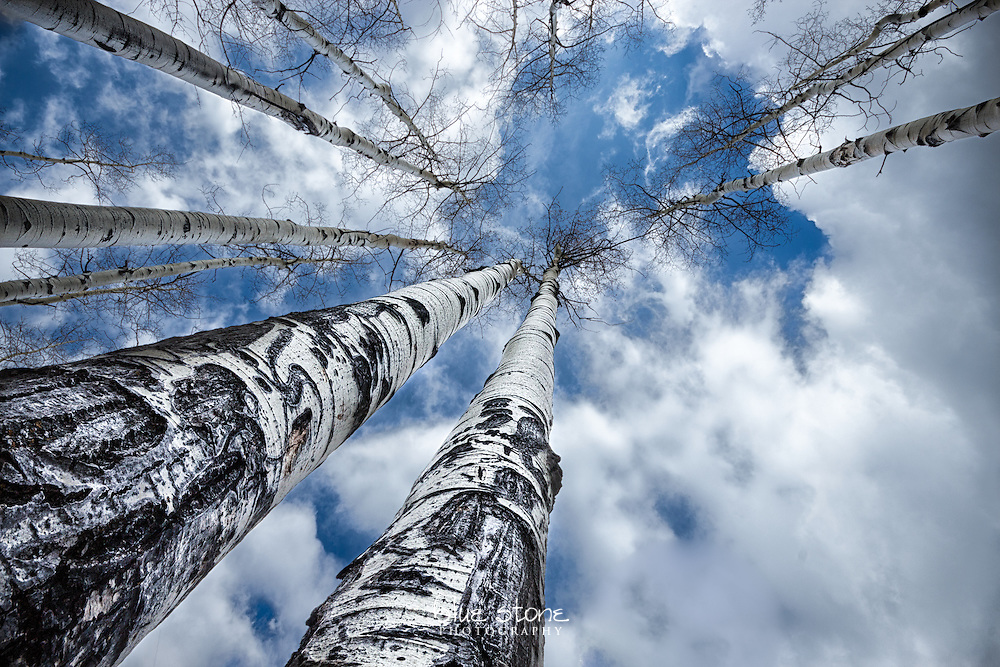 Spring aspens break through winter clouds to reach life-giving sunlight.<br /> <br /> Wall art is available in metal, canvas, float wrap and standout. Art prints are available in lustre, glossy, matte and metallic finishes.