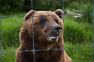 A brown bear at the Alaska Wildlife Conservation Center, Portage, Alaska<br /> <br /> Photographer: Christina Sjögren<br /> <br /> Copyright 2019, All Rights Reserved